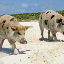 Bahama Pigs on the Beach