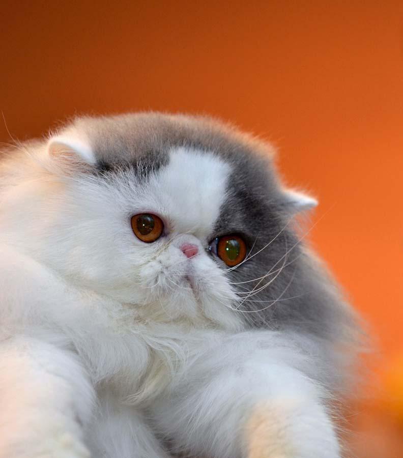 cat frequent vomiting