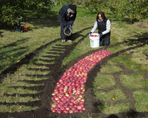 the best land art a giant mandala made of apples 005   funcage