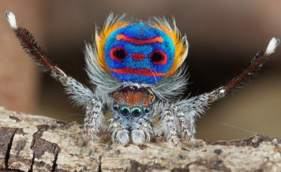 Colorful-Spider-Peacock-001
