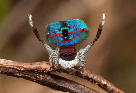 Colorful-Spider-Peacock-003