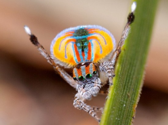 Colorful-Spider-Peacock-004