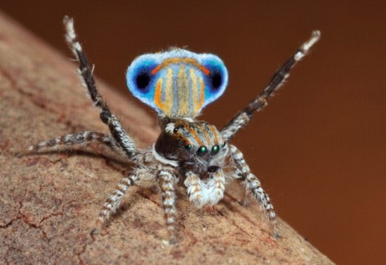 Colorful-Spider-Peacock-007