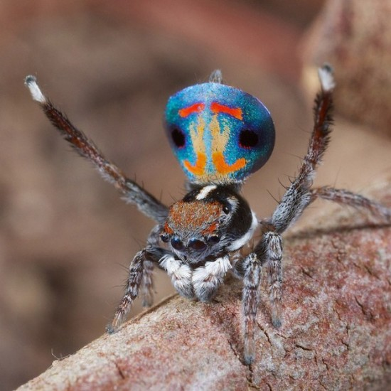 Colorful-Spider-Peacock-009