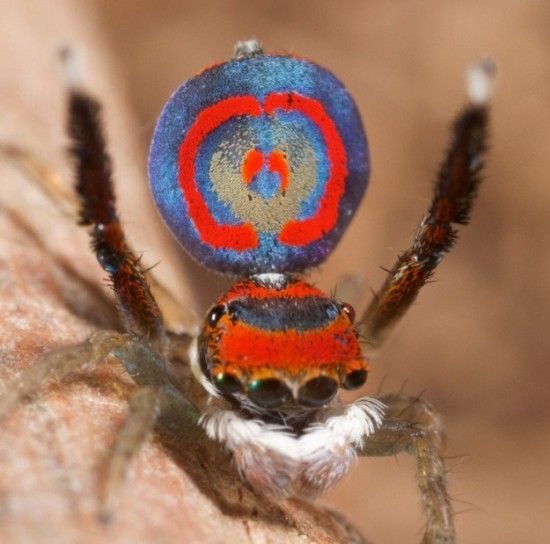 Colorful-Spider-Peacock-010