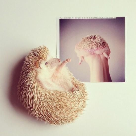 Meet Darcy The Cutest Hedgehog On Instagram FunCage - Darcy cutest hedgehog ever