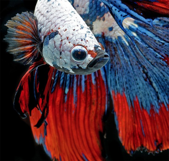 Photo Series Captures the Stunning Beauty of Siamese Fighting Fish 001