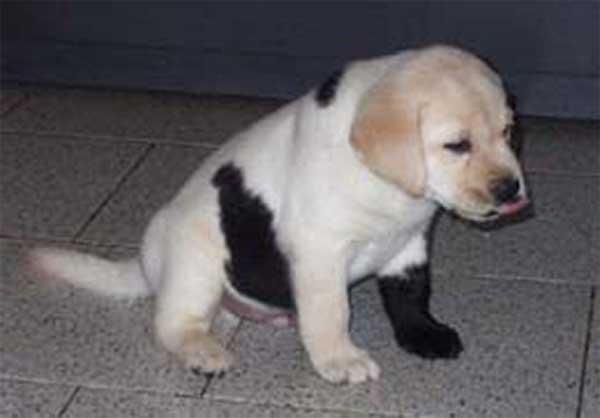 Somatic mutation dog