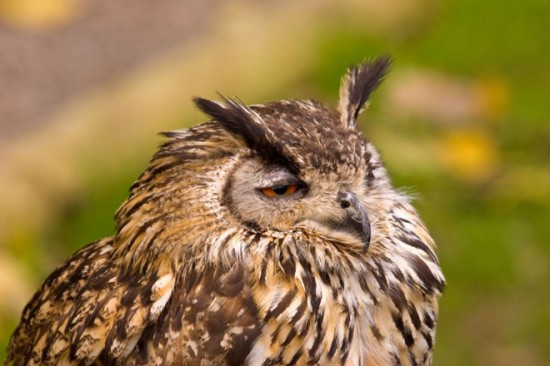 Terribly Hungover Owls 001