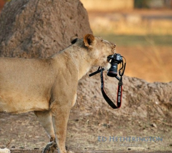Lion-dragged-the-main-tool-of-Photographer-001