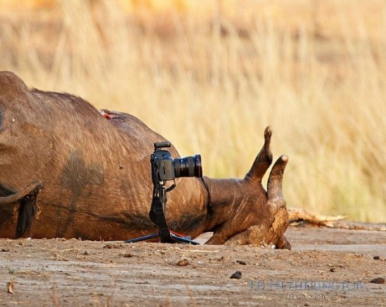 Lion-dragged-the-main-tool-of-Photographer-002