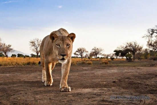 Lion-dragged-the-main-tool-of-Photographer-004