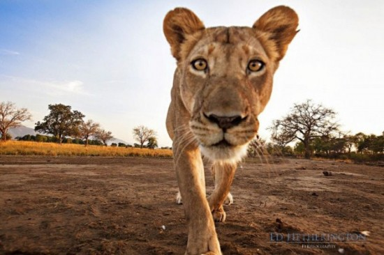 Lion-dragged-the-main-tool-of-Photographer-005