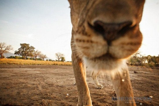 Lion-dragged-the-main-tool-of-Photographer-006