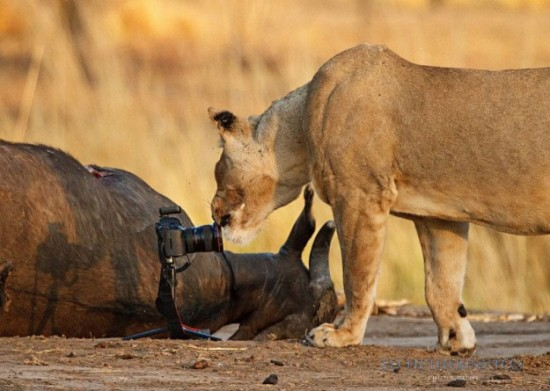 Lion-dragged-the-main-tool-of-Photographer-008