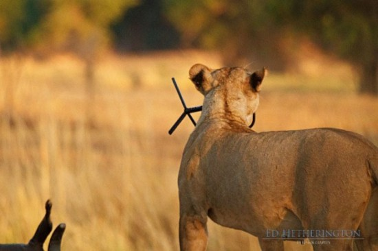 Lion-dragged-the-main-tool-of-Photographer-010