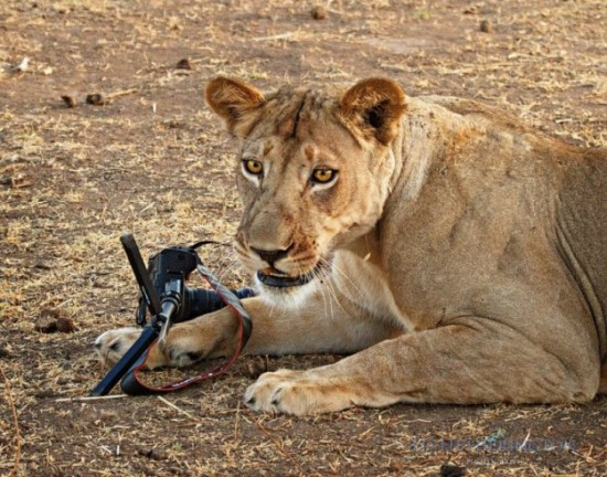 Lion-dragged-the-main-tool-of-Photographer-011