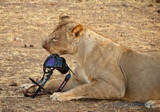 Lion-dragged-the-main-tool-of-Photographer-012