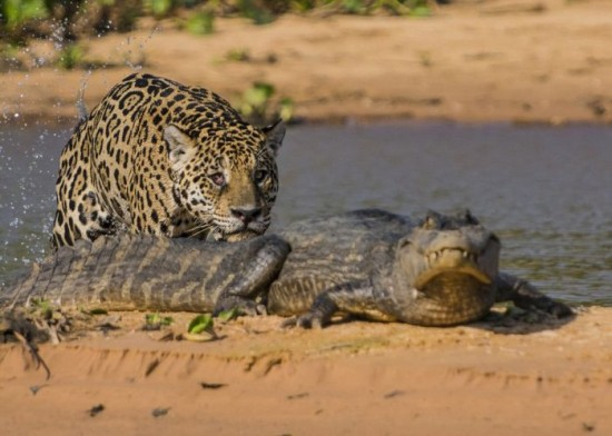 Jaguar-Hunts-For-A-Crocodile-004