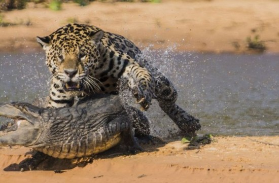 Jaguar-Hunts-For-A-Crocodile-005