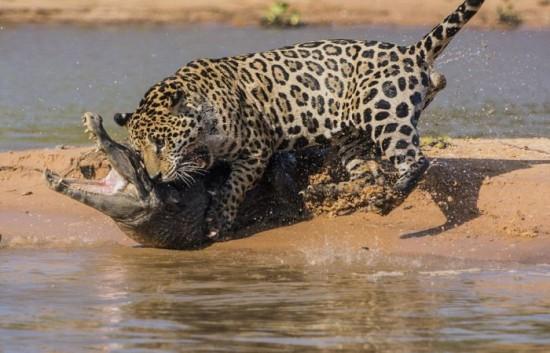 Jaguar-Hunts-For-A-Crocodile-006