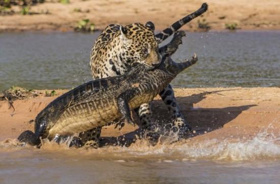 Jaguar-Hunts-For-A-Crocodile-007