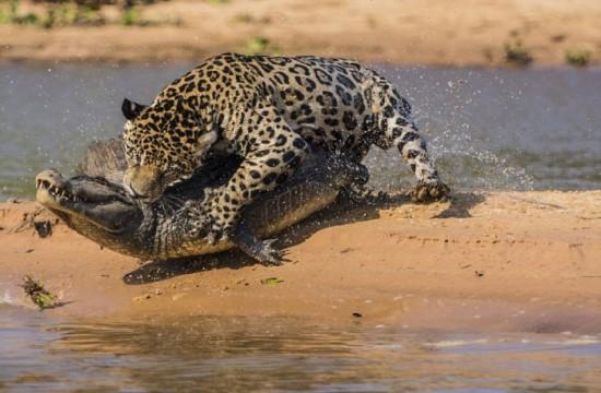 Jaguar-Hunts-For-A-Crocodile-008