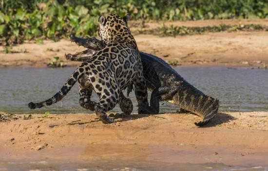 Jaguar-Hunts-For-A-Crocodile-009