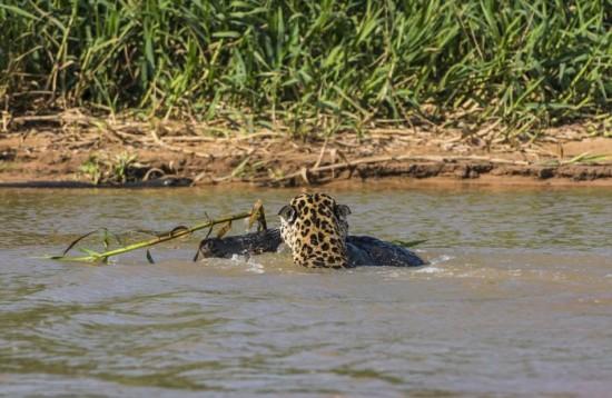 Jaguar-Hunts-For-A-Crocodile-010