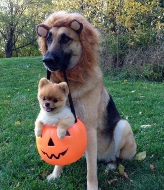 20-Funniest-Dog-Halloween-Costumes-019