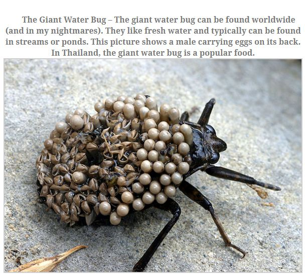 10 Largest Insects 0012