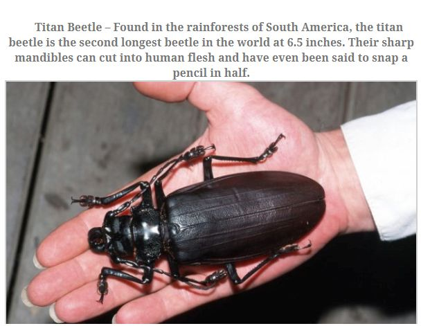 10 Largest Insects 011